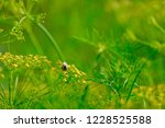honey bee on small green yellow ... | Shutterstock . vector #1228525588