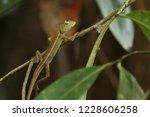 oriental garden lizard or... | Shutterstock . vector #1228606258