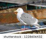 adult glaucous winged gull ... | Shutterstock . vector #1228606432