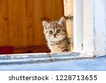 Stock photo cute lonely little brown british kitten sitting in the doorway of a brick wall and looks into the 1228713655
