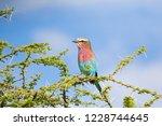 lilac breasted roller bird... | Shutterstock . vector #1228744645