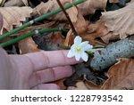 snowdrop in the fall. snowdrop.    Shutterstock . vector #1228793542