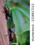 rhinoceros beetle or fighting...   Shutterstock . vector #1228817212