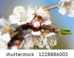 blossoming tree with white... | Shutterstock . vector #1228886002