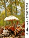 parasol mushroom   macrolepiota ... | Shutterstock . vector #1228922908