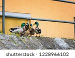 duck mating   ducks trying to... | Shutterstock . vector #1228966102