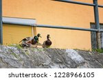 duck mating   ducks trying to... | Shutterstock . vector #1228966105
