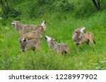 pack of howling gray wolves ... | Shutterstock . vector #1228997902