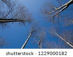 gray trees on the blue sky... | Shutterstock . vector #1229000182