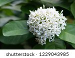 close up white ixora flowers... | Shutterstock . vector #1229043985