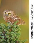 Small photo of Northern Saw-whet Owl (Aegolius acadicus)