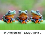 Three Javan Tree Frog Sitting...