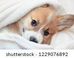 cute homemade corgi puppy lies... | Shutterstock . vector #1229076892