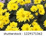 yellow doronicum flowers ... | Shutterstock . vector #1229171362