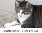 isolated european cat with an... | Shutterstock . vector #1229171365