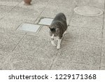 isolated european cat walking... | Shutterstock . vector #1229171368