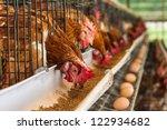 Hundreds Of Chicken Eggs....