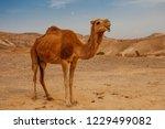 camel in desert in israel  negev | Shutterstock . vector #1229499082