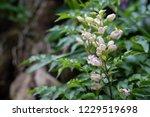 soft focus  closeup trumpet... | Shutterstock . vector #1229519698