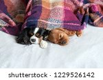 two dogs sleepeing together...   Shutterstock . vector #1229526142