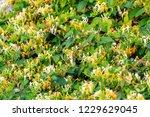 Blooming Honeysuckle Bush Near...