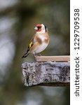 goldfinch feeding from bird... | Shutterstock . vector #1229709538