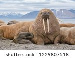 The walrus is a marine mammal ...