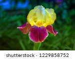 Bright Colorful Iris Flowers O...