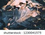 morning frost on fallen oak... | Shutterstock . vector #1230041575