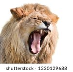 Furious Lion Male Isolated On...