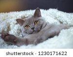 fat gray cat breed british lies ... | Shutterstock . vector #1230171622