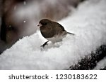 adorable black and white junco... | Shutterstock . vector #1230183622
