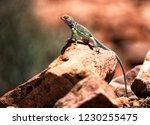 A Great Basin Collard Lizard...