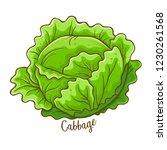 cabbage fresh natural vegetable ...   Shutterstock .eps vector #1230261568