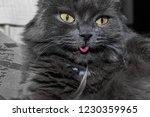 gray fluffy cat lying on the... | Shutterstock . vector #1230359965