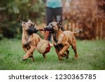belgian shepherd dog  malinois...   Shutterstock . vector #1230365785