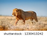 big lion with mane in etosha ... | Shutterstock . vector #1230413242