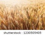 wheat in the farm | Shutterstock . vector #1230505405