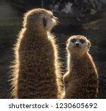 two suricatas on guard   Shutterstock . vector #1230605692