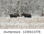 Male and Female moose standing facing each other in a snow covered grass meadow with snow covered trees in the background in the winter, near Haines, Alaska.