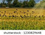 swarm of red winged songbirds... | Shutterstock . vector #1230829648