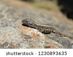 orange belly lizard  liolaemus... | Shutterstock . vector #1230893635