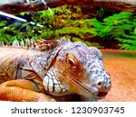 the  iguana  is a large... | Shutterstock . vector #1230903745