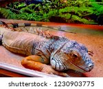 the  iguana  is a large... | Shutterstock . vector #1230903775