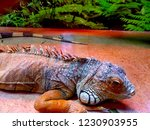 the  iguana  is a large... | Shutterstock . vector #1230903955