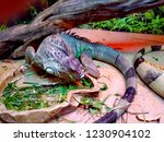 the  iguana  is a large... | Shutterstock . vector #1230904102