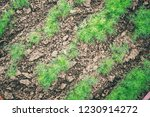 fresh green leaves of dill with ... | Shutterstock . vector #1230914272