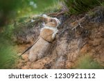 little rabbit with a leash on... | Shutterstock . vector #1230921112