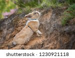 little rabbit with a leash on... | Shutterstock . vector #1230921118