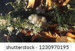 Fungi Of Scotland White Brain...